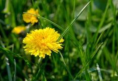 Dandelion. Yellow dandelion on green background Royalty Free Stock Photos