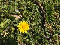 Dandelion. Yellow dandelion on meadow in spring Stock Photography