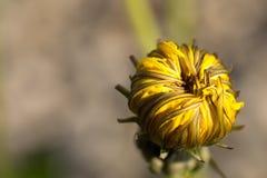 Dandelion, Yellow, Orange, Flowers Stock Images
