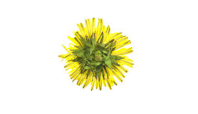 Dandelion yellow. Rear view isolated on white background royalty free stock image