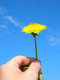 Dandelion for You. A flower for you my love Stock Image