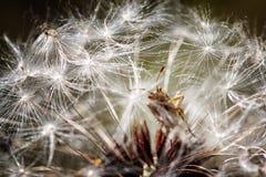 Dandelion z ścigą w makro- Obraz Royalty Free