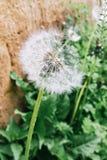 Dandelion z chybiań ziarnami dmuchającymi zdjęcia stock