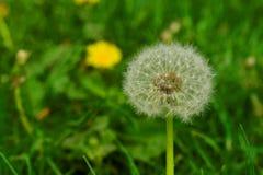 Dandelion z fluffs na słonecznym dniu Obraz Royalty Free