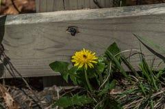 Dandelion z insektem Obrazy Royalty Free
