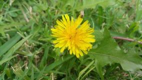 Dandelion z małymi insektami Zdjęcie Stock