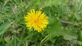 Dandelion z małymi insektami Zdjęcie Royalty Free