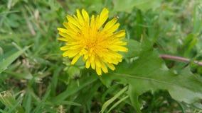 Dandelion z małymi insektami Zdjęcia Stock
