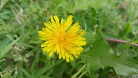 Dandelion z małymi insektami Obraz Royalty Free