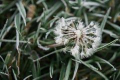 Dandelion z mrozem Zdjęcia Stock