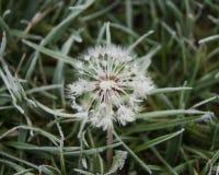 Dandelion z mrozem Obrazy Stock