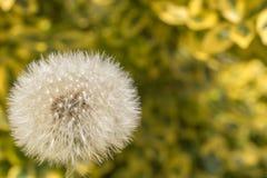 Dandelion dandelion z naturalnym tłem jako szablon z kopii przestrzenią fotografia royalty free