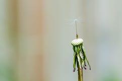 Dandelion z pojedynczym ziarnem Zdjęcie Royalty Free