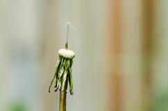 Dandelion z pojedynczym ziarnem Zdjęcie Stock
