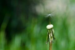 Dandelion z pojedynczym ziarnem Obraz Stock