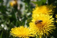 Dandelion z pszczołą zdjęcie stock
