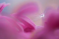 Dandelion z wody kroplą na kwiacie Makro- dandelion Zdjęcia Royalty Free