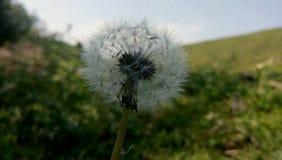 Dandelion z zielonym tłem fotografia stock