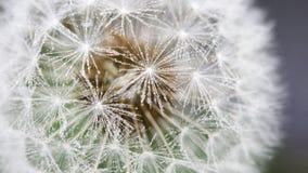 Dandelion zakrywający z wodnymi kroplami Fotografia Royalty Free