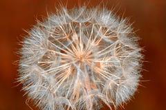 Dandelion zamknięty up Obrazy Royalty Free