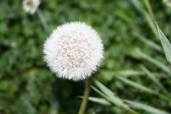 Dandelion zamknięty z małym insektem up Obraz Royalty Free