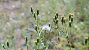 Dandelion zbliżenie na wiatrze, lato natury różnorodność, zbiory
