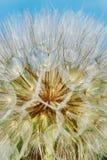 Dandelion zbliżenie Zdjęcie Stock