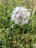 Dandelion zbliżenie Zdjęcia Royalty Free