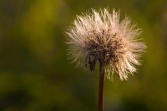 Dandelion zbliżenie Zdjęcia Stock