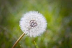 Dandelion zbliżenie Obraz Royalty Free