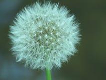 Dandelion zegar zdjęcia stock