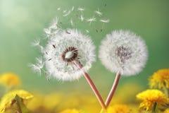 Dandelion zegar w ranku świetle zdjęcia royalty free