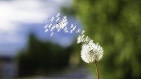 Dandelion zegarowy dmuchanie zdjęcia stock