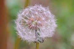 Dandelion zegaru zakończenie up Zdjęcia Royalty Free