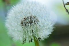Dandelion zegaru zakończenie up Fotografia Stock
