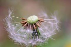 Dandelion zegaru zakończenie up Zdjęcie Royalty Free