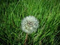 Dandelion ziaren zamknięty up zielony tło zdjęcia royalty free