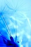 dandelion ziarna Obrazy Royalty Free
