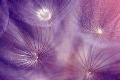 Dandelion ziarna Zdjęcia Royalty Free