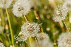 Dandelion ziarna głowy Zdjęcia Royalty Free