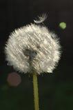 Dandelion ziarna głowa fotografia royalty free