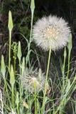 Dandelion ziarna głowa 02 Zdjęcie Royalty Free