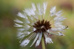 Dandelion ziarna głowa z rosa kropelkami Obraz Stock