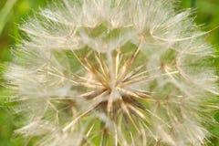 Dandelion ziarna i ptysiowe piłki obrazy royalty free