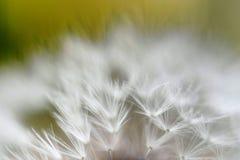 Dandelion ziarna. marco Obraz Stock