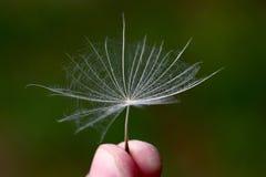 Dandelion ziarna w ręce zamkniętej w górę zdjęcie royalty free