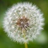 Dandelion ziarna w ranku świetle słonecznym Zdjęcia Stock