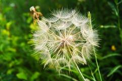 Dandelion ziarna w ranku świetle słonecznym dmucha daleko od przez obrazy stock