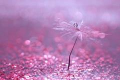 Dandelion ziarno z kroplą woda jest w lśnieniu błyska Zamazany różowy tło Selekcyjna ostrość obraz stock