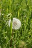 dandelion zieleni biel Obrazy Royalty Free